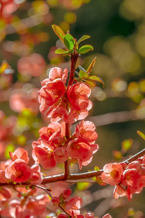 bill quince  blossom  bloom