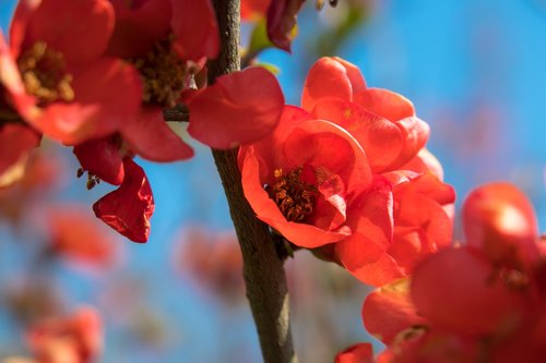 bill quince  quince  blossom
