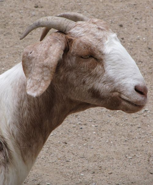 billy goat domestic pet