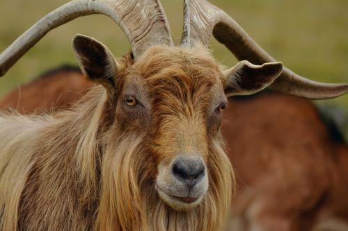 billy goat mountain goat goat