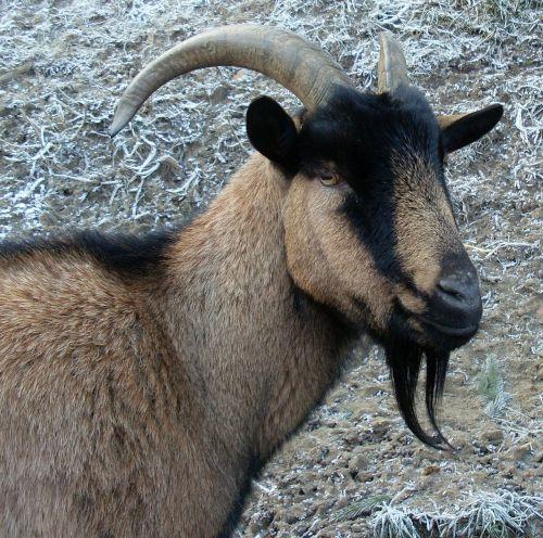 billy goat heraldic animal prima donna