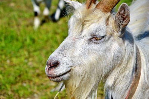 billy goat goat bock