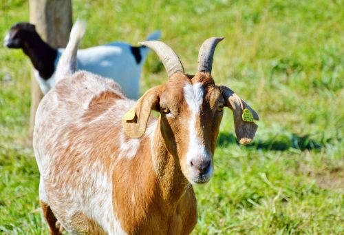 billy goat goat horns