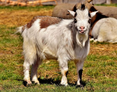 billy goat goats animal
