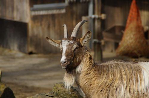 billy goat goat male