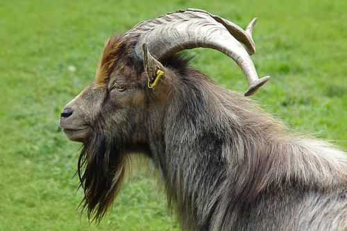 billy goat goat buck portrait