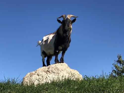 billy goat  animal  goat