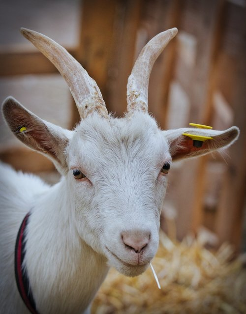 billy goat  white  horns