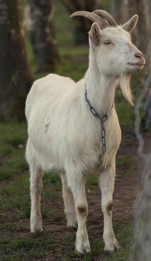 billy goat  bock  goatee