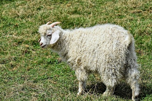 billy goat  cashmere goat  wool goat
