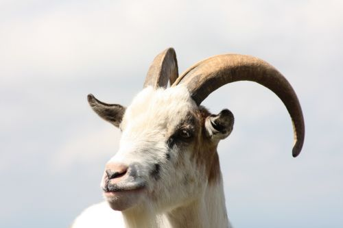 billy goat aries horns