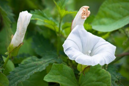bindweed blossom bloom