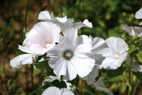 bindweed volubilis flowers
