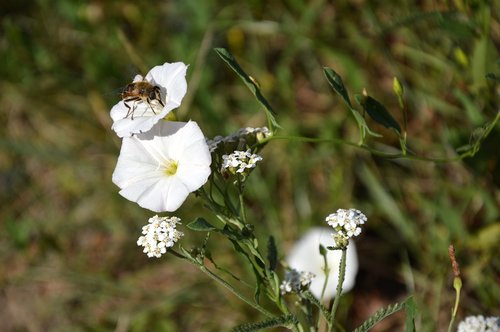 bindweed  insect  weed