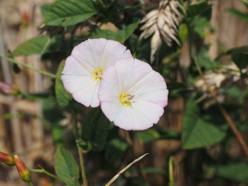 bindweed flower blossom
