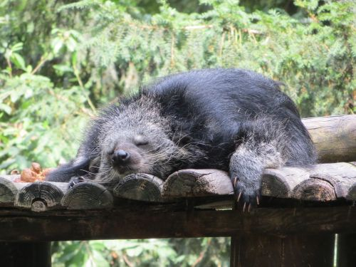 binturong animal sleeps