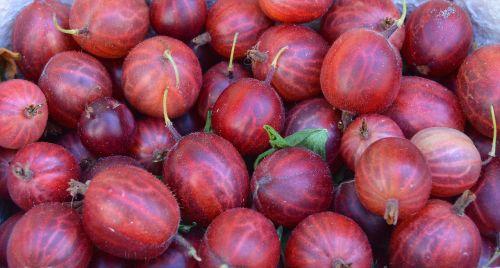 gooseberry berry left untreated