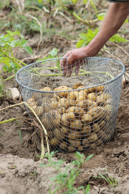 bio potato harvest