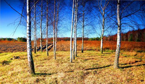 birch shrubbery sky