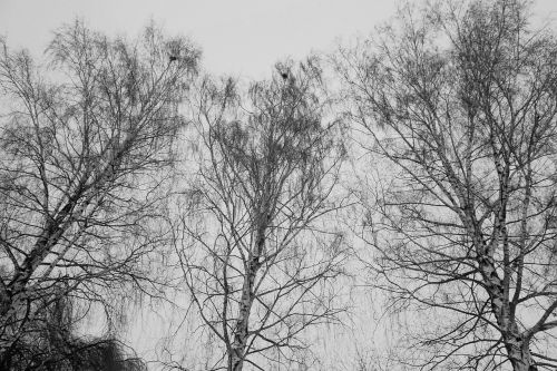 birch trees nature