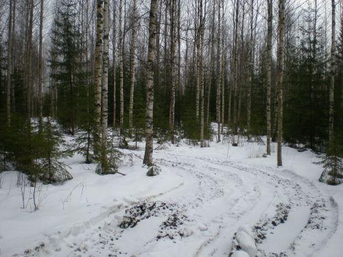 birch forest crust