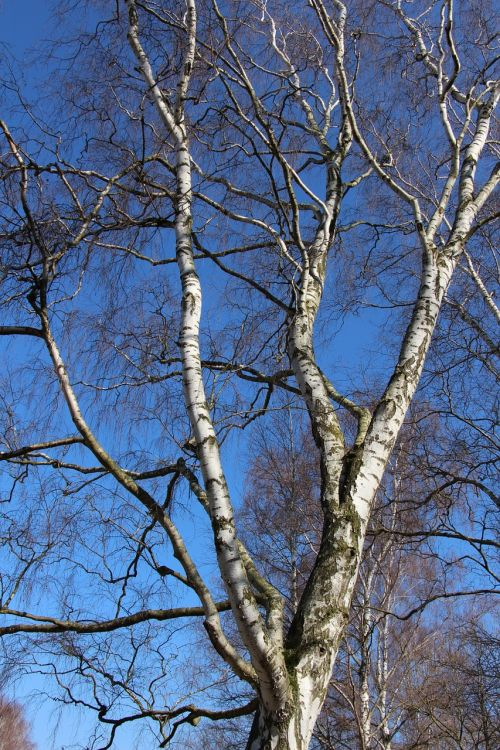 birch aesthetic nature