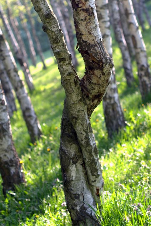 birch intertwined tree