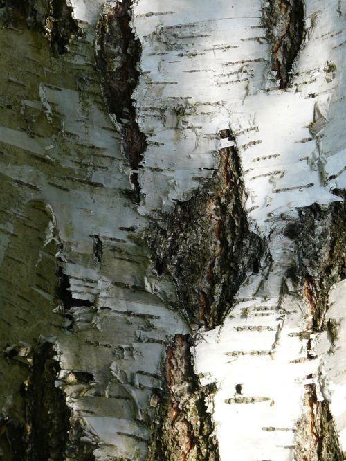 birch bark strain