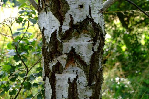 birch bark nature