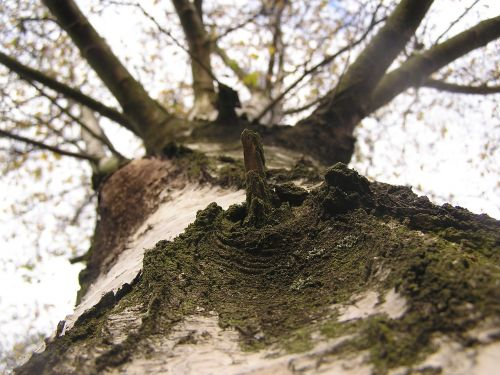 birch skyward tree