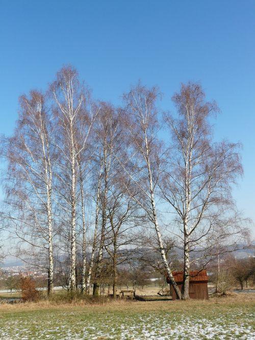 birch birch grove trees