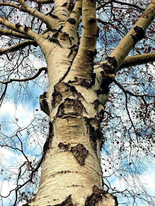 birch tree deciduous tree