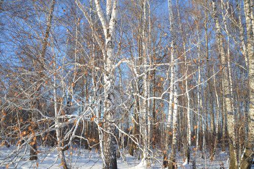 birch forest nature