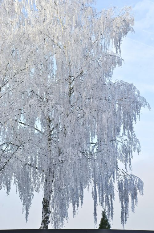 birch tree winter