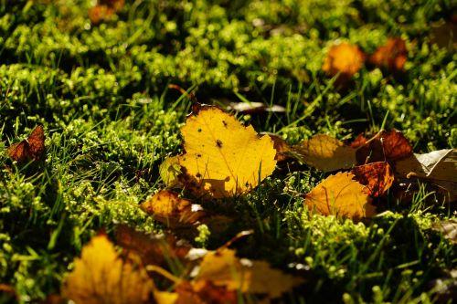birch autumn fall foliage
