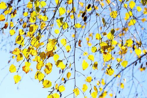 birch fall leaves autumn