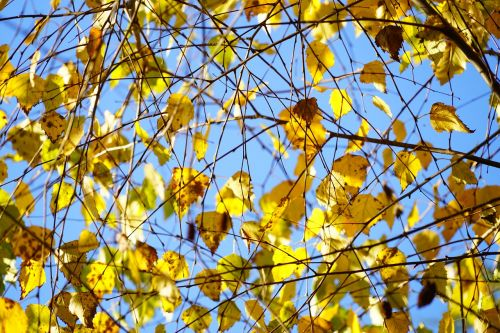 birch autumn leaves