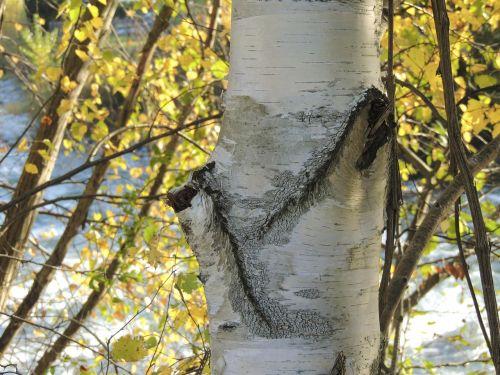 birch tree tribe