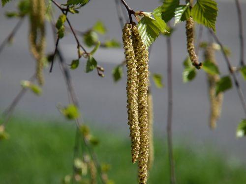 beržas,pavasarį,lakštas