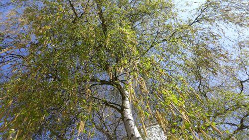 birch spring tree