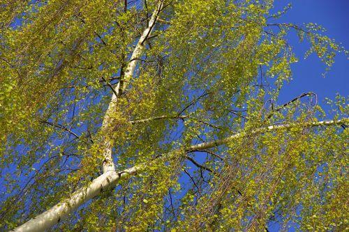 birch spring nature