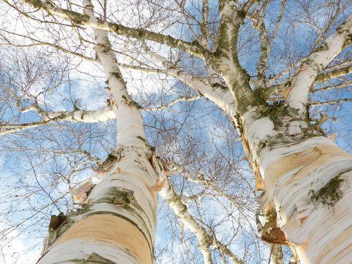 birch bark white