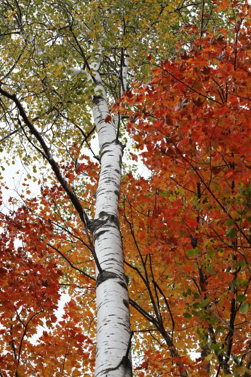 birch birch tree white bark