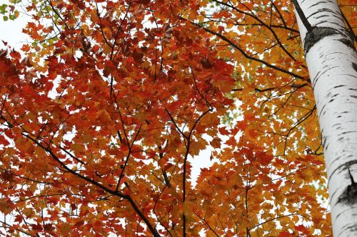 birch birch tree color