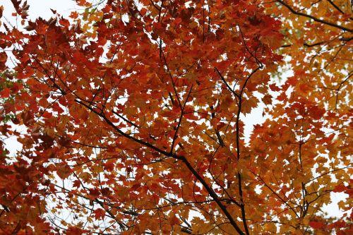 birch birch tree fall