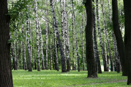 birch summer birch forest