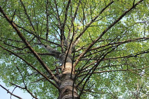 birch branches finnish