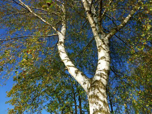 birch autumn skyward