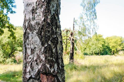 birch grove forest