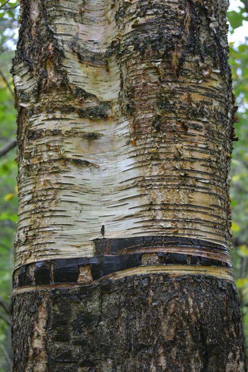 birch tree bark close